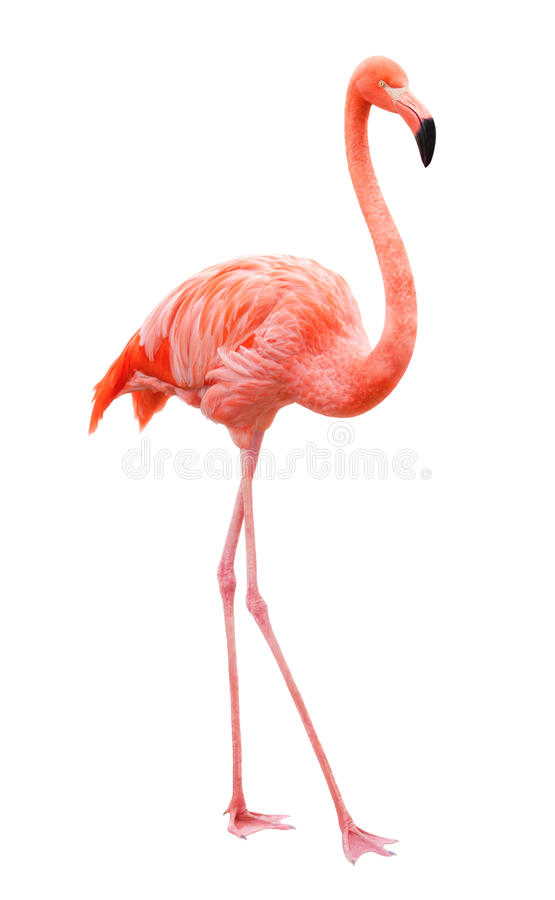 Flamingo do pássaro fotos de stock