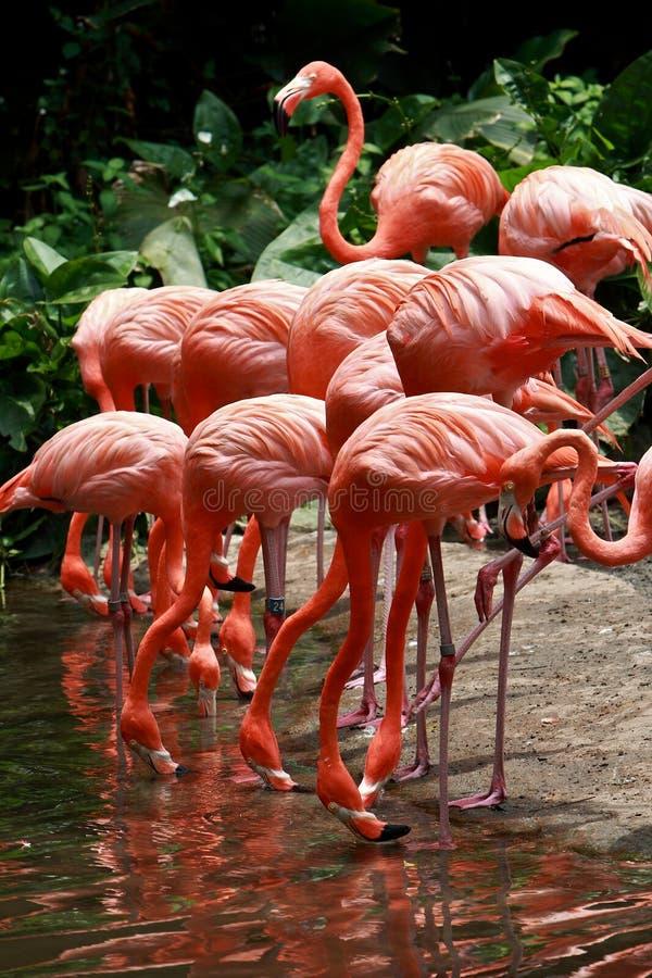 Flamingo do pássaro fotografia de stock royalty free