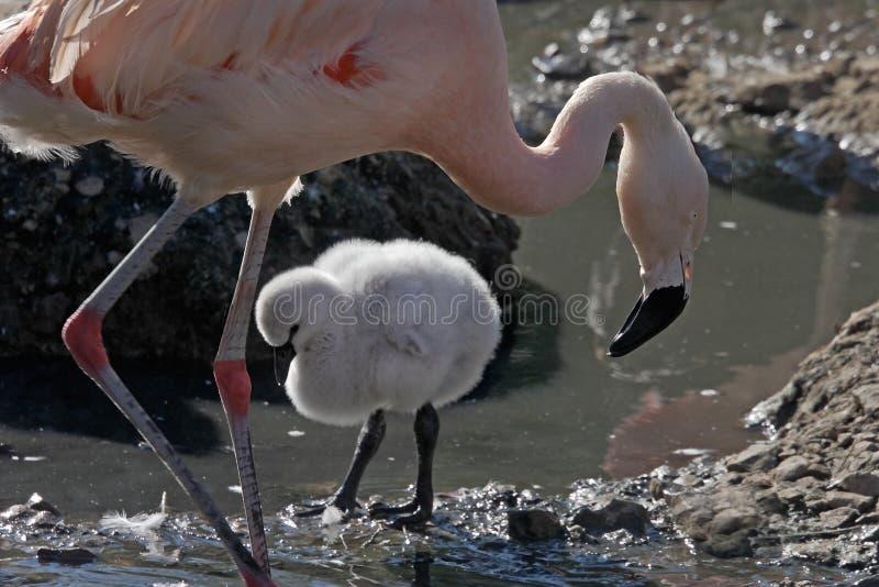 Flamingo e pintainho fêmeas imagem de stock