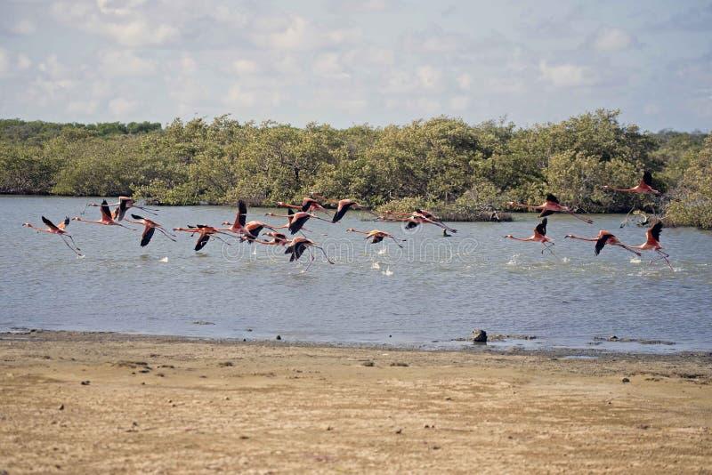 Flamingo em Bonaire imagem de stock royalty free