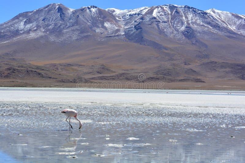 Flamingo em uma causa de sal em Bolívia foto de stock royalty free