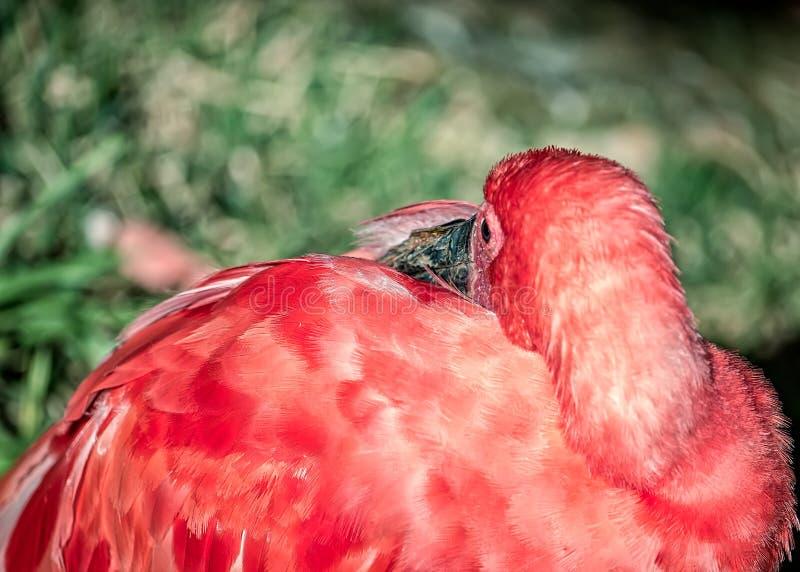 Flamingo  exotic brazilian bird,  with beak between wings to sleep.  royalty free stock photography