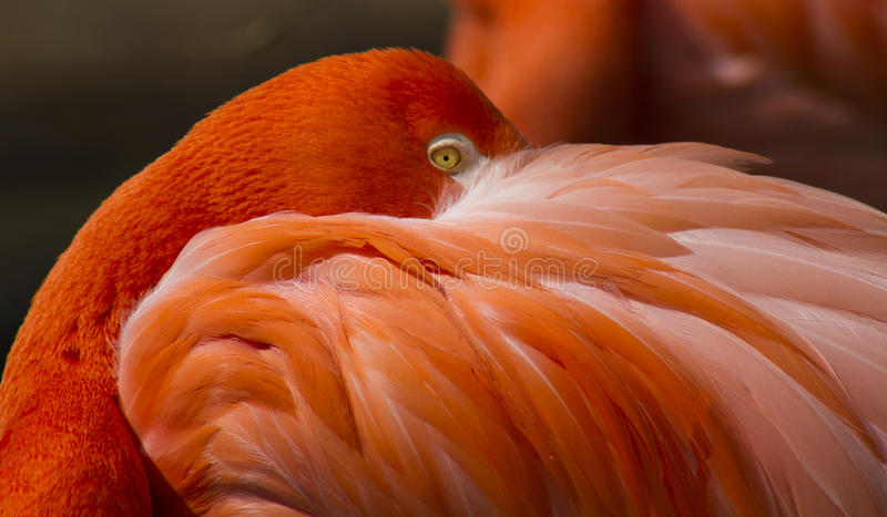 Flamingo eye royalty free stock image