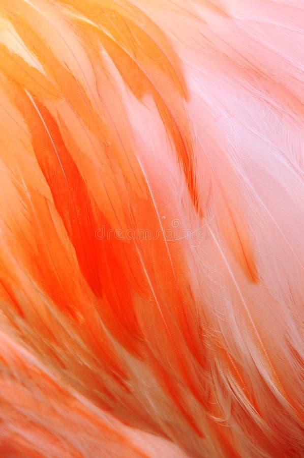 Flamingo Fathers. Close-up photo of Flamingo Fathers