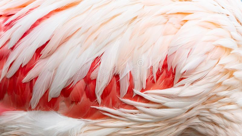 Flamingo feathers as a background stock photo