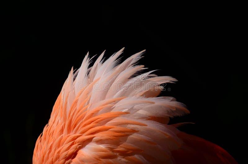 Flamingo-Federn lizenzfreie stockfotografie
