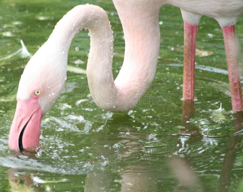 Flamingo feeding in water. Pink flamingo bird feeding with beak under surface of water royalty free stock image