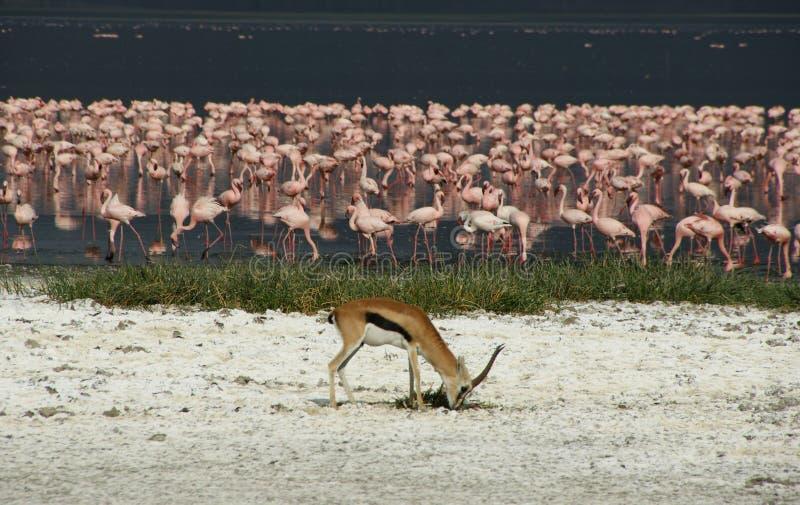 Flamingo filled Lake Nakuru with antilope grazing stock image