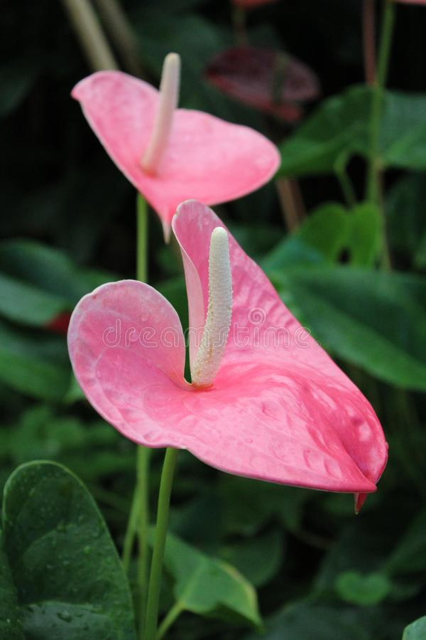 Flamingo flower in a garden royalty free stock image