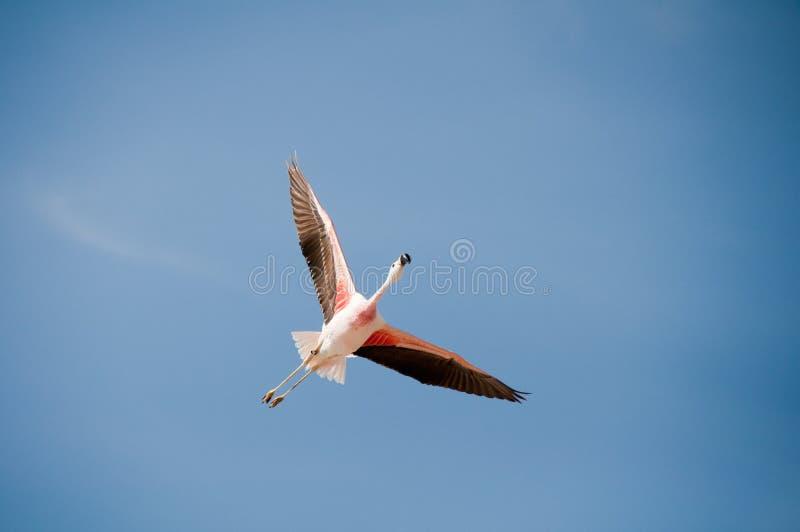 Flamingo flying stock photography