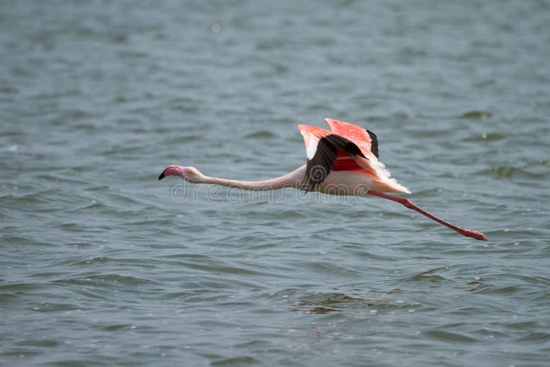 Flamingo flying royalty free stock image
