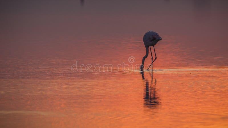Flamingo Foder före solnedgång royaltyfria foton