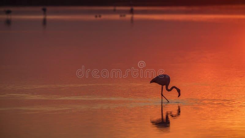 Flamingo Foder under solnedgång arkivfoton