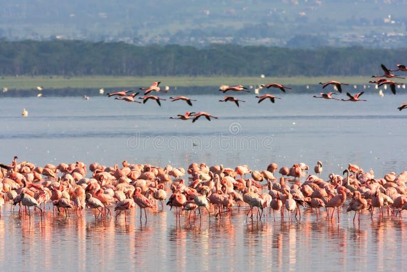 Flamingo från Nakuru kenya fotografering för bildbyråer