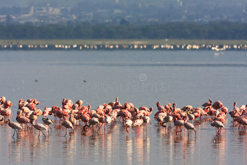 Flamingo från Nakuru sjön kenya arkivfoton