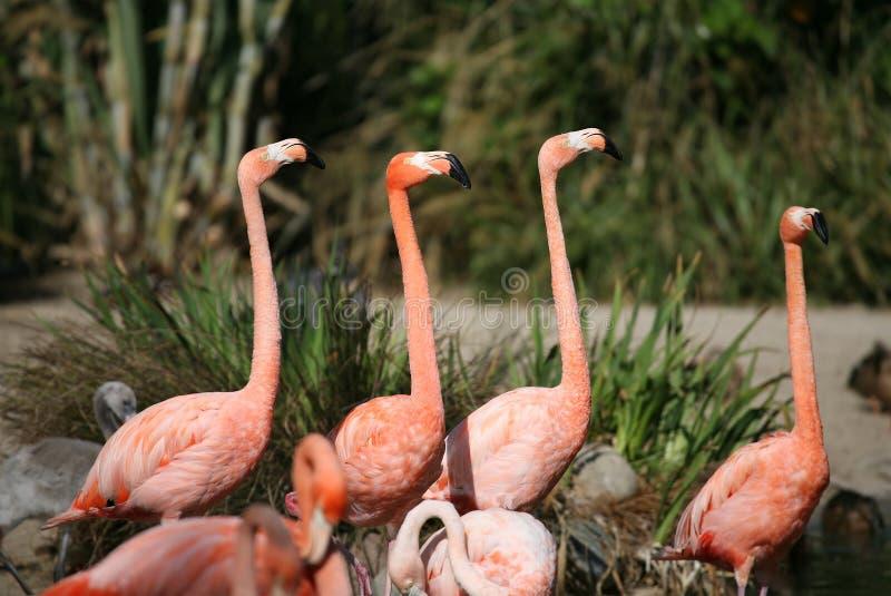 Flamingo-Freunde lizenzfreies stockbild