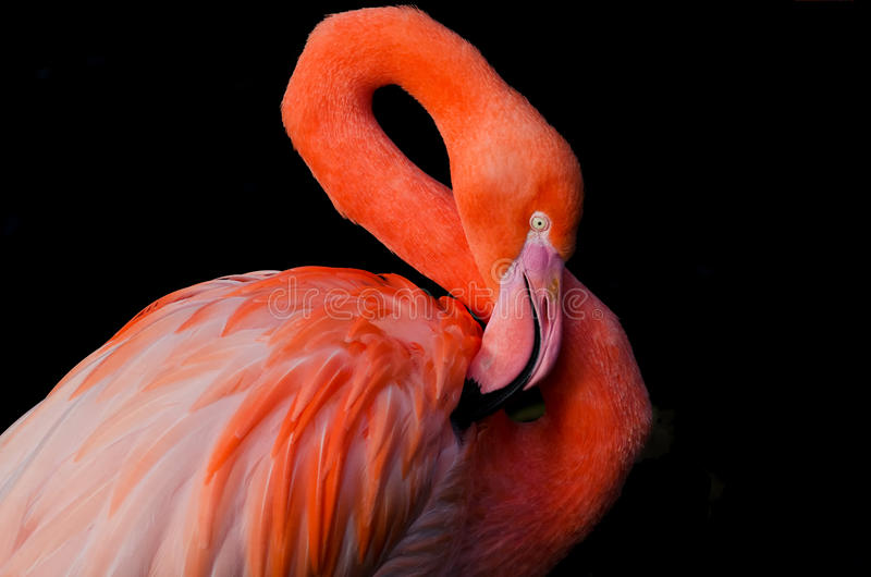 Download A flamingo grooming itself stock photo. Image of heart - 38107588