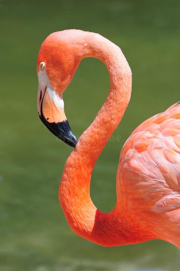 Free Flamingo Head Royalty Free Stock Photography - 20691177