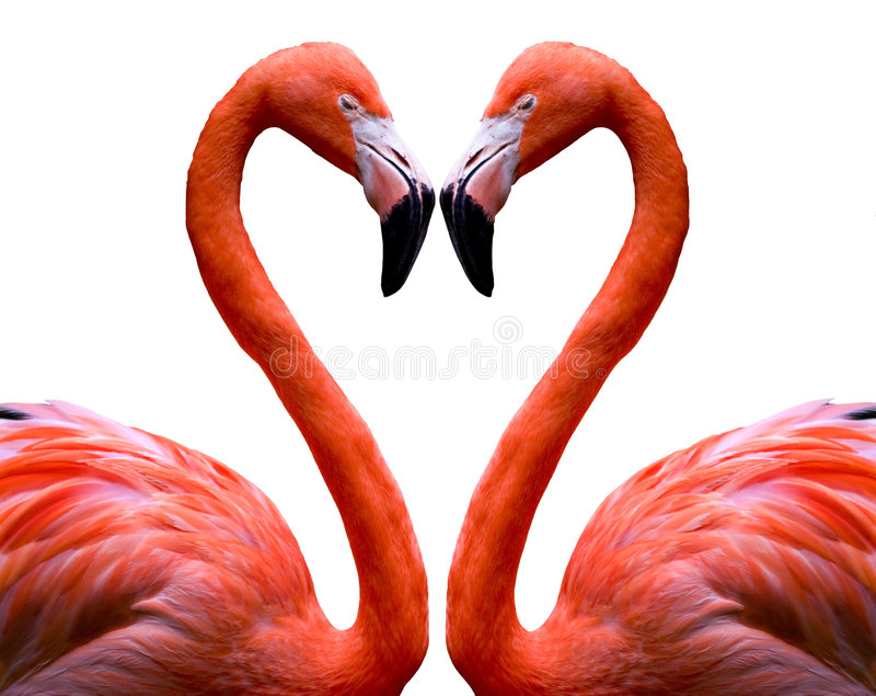 Flamingo Heart. Heart shape made from two flamingoes on a white background