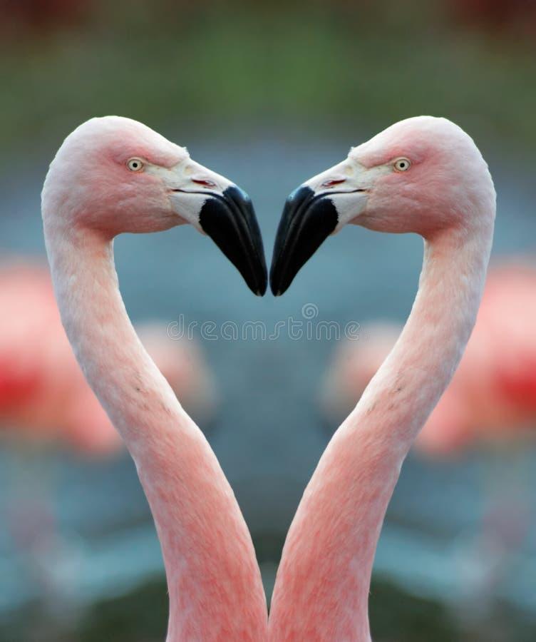 Flamingo heart. Two Flamingo and a heart shape stock photography