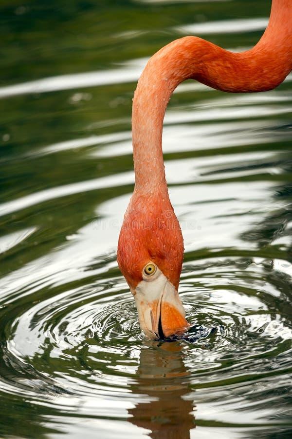 Flamingo het drinken royalty-vrije stock foto's