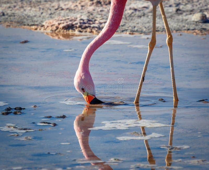 Flamingo het voeden op meer Chaxa, in de zoute vlakten van Atacama, in Th royalty-vrije stock afbeeldingen