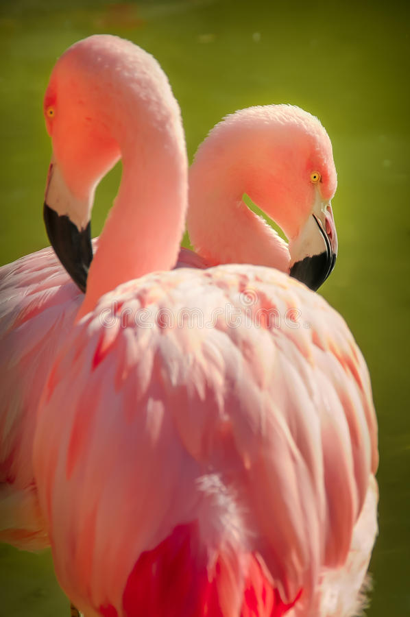 Flamingo. A flamingo hiding behind another royalty free stock images