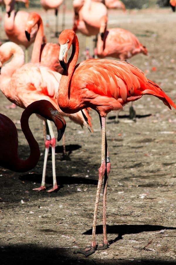 Flamingo I royalty-vrije stock afbeeldingen