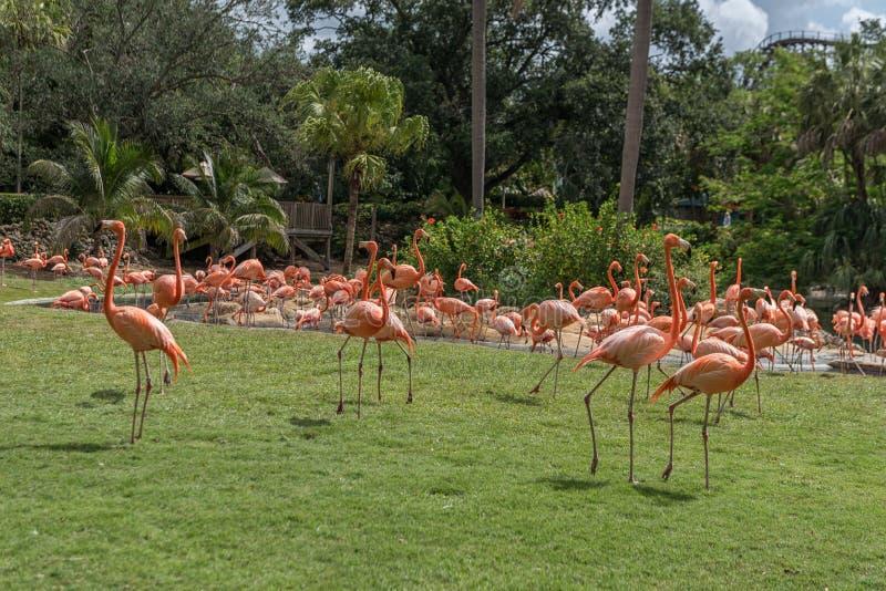 Flamingo i Busch trädgårdar Tampa Bay Florida arkivfoton