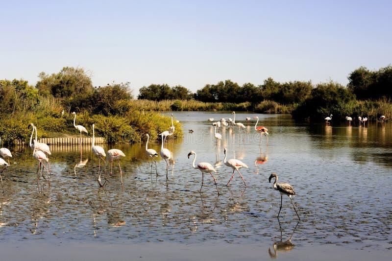 Flamingo i Camargue royaltyfria bilder