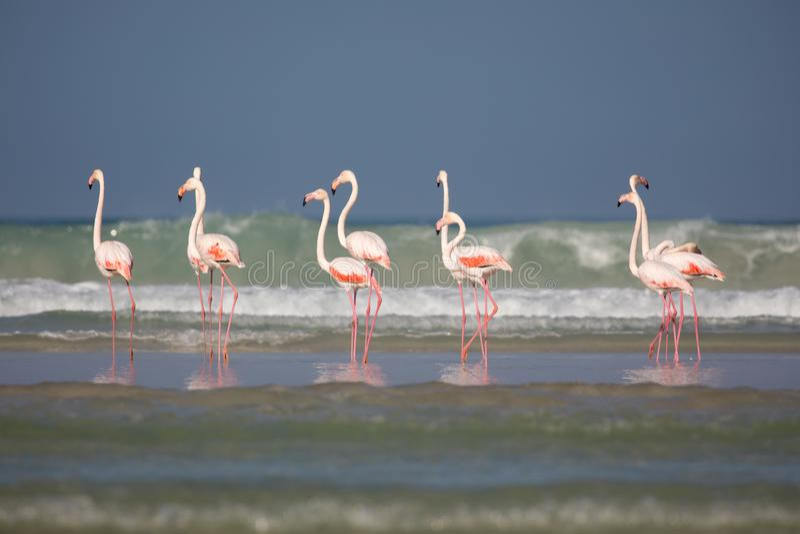 Flamingo i De Mond den kust- naturreserven, Sydafrika royaltyfria bilder