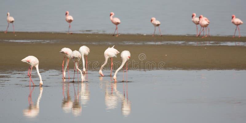 Flamingo i den Walvis fjärden fotografering för bildbyråer