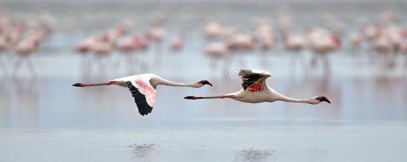 Flamingo i flykten Flygflamingo över vattnet av Natron sjön royaltyfria bilder