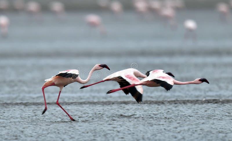 Flamingo i flykten Flygflamingo över vattnet av Natron sjön flamingo mindre arkivfoto