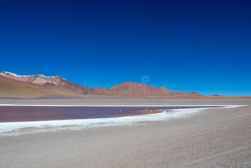 Flamingo i Laguna Hedionda, lagun som lokaliseras i den bolivianska Altiplanoen nära Uyunien, saltar lägenheten i Bolivia arkivbild