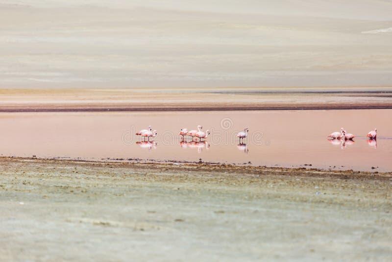 Flamingo i Peru fotografering för bildbyråer