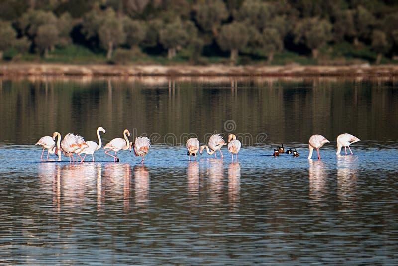 Flamingo i sjön Tuzla Milas-Turkiet arkivfoto