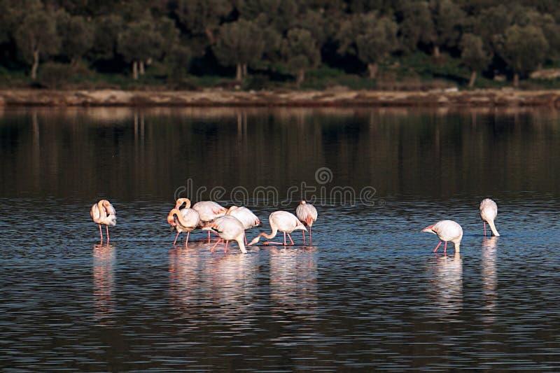 Flamingo i sjön Tuzla Milas-Turkiet fotografering för bildbyråer