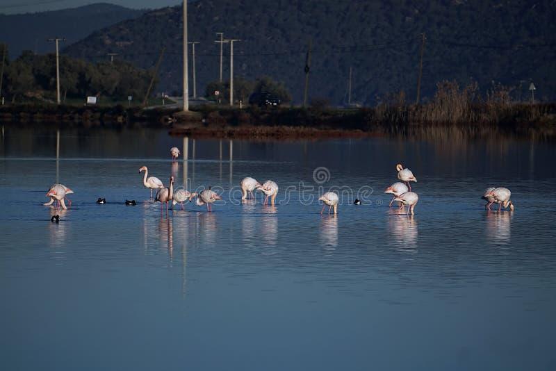 Flamingo i sjön Tuzla Milas-Turkiet royaltyfri fotografi
