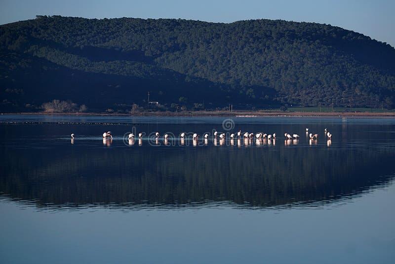 Flamingo i sjön Tuzla Milas-Turkiet arkivbild