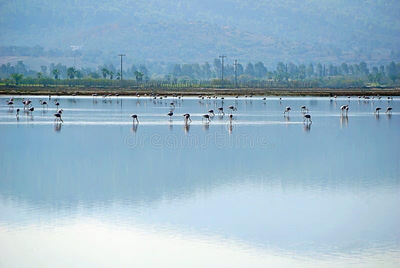 Flamingo i sjön Tuzla Milas-Turkiet royaltyfri foto