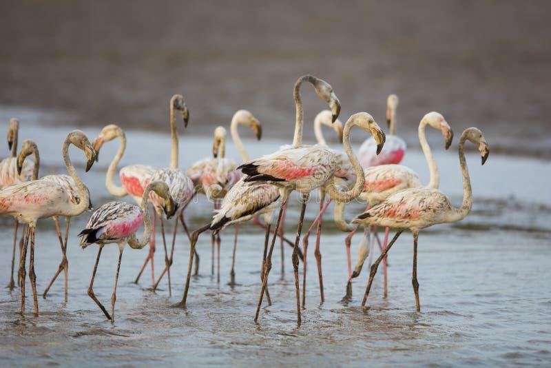 Flamingo i vatten Sydafrika royaltyfri bild