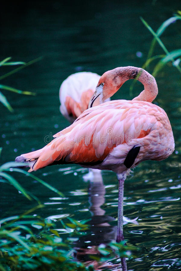 Flamingo II stock foto