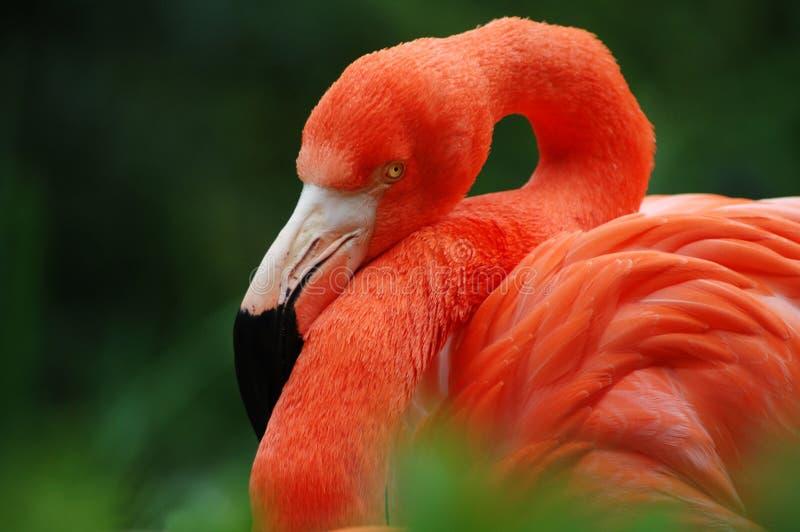 Flamingo II stock fotografie