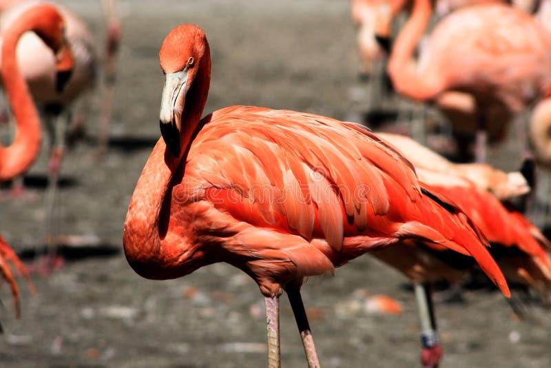 Flamingo III stock afbeelding