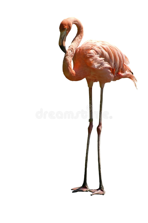 Flamingo isolado fotografia de stock royalty free