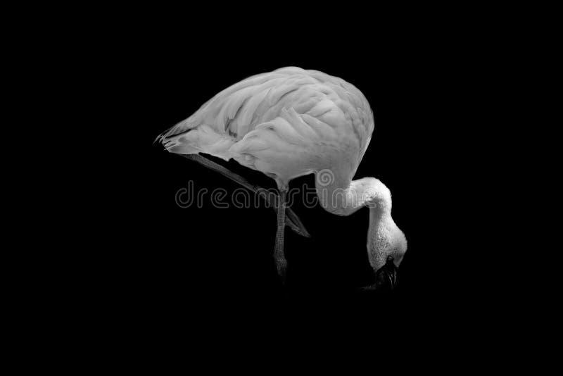 Flamingo on black background royalty free stock image