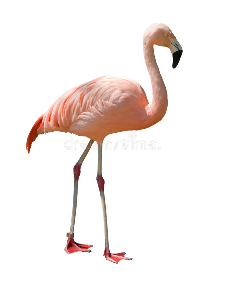 Flamingo isolated on white stock photos