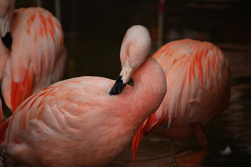 Flamingo Itch royalty free stock images