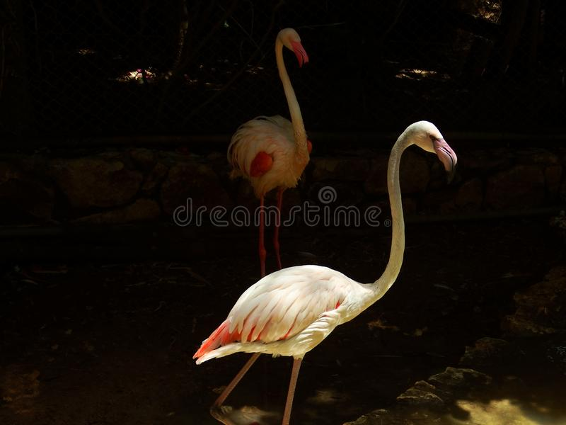 Flamingo with its almost reflection in a different perspective. One of them hid in the shadow stock photos